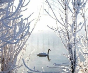 Swan, winter, and snow image