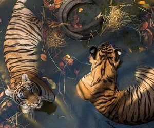 animals, tiger, and water image