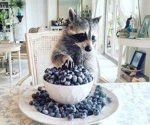 raccoon, animal, and blueberry image