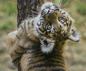 Animales and tigres image