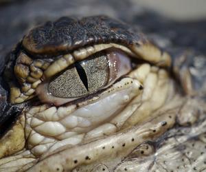 animals, crocodile, and eyes image