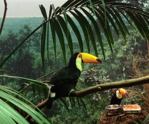 beautiful, nature, and toucan image