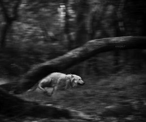 black, white, and wolf image