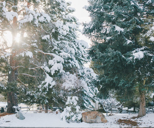pine tree, season, and soft light image