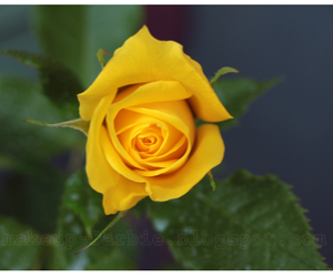 photography and yellow rose image