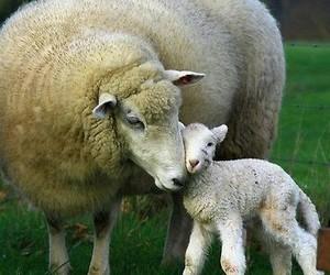 sheep, animal, and lamb image