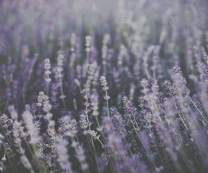 lavender, nature, and photography image
