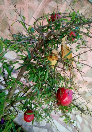 pomegranate and winter image