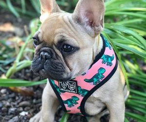animals, dogs, and french bulldog image