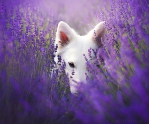purple flowers and white dog image