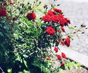 color, red, and roses image