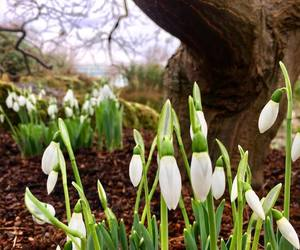 flowers, kew gardens, and snowdrops image
