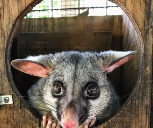 animals, possum, and rodents image
