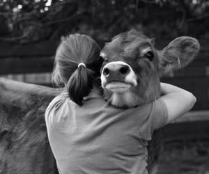 animal, cow, and hug image