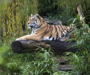 zoo, panthera tigris, and amurtiger image
