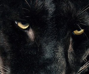 black, animal, and eyes image