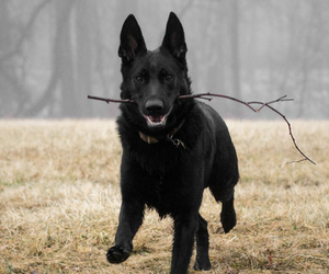 animal, black, and dog image