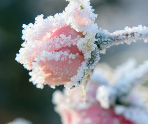 rose and snow image