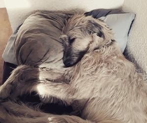 irish wolfhound dog cute image