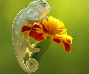 animal, chameleon, and tiny image