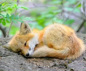 animal, fox, and sleep image