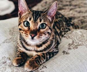animal, cat, and eyes image