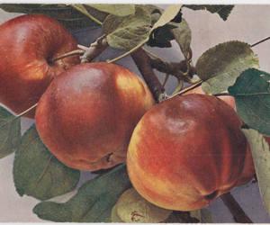 apples, etsy, and still life image