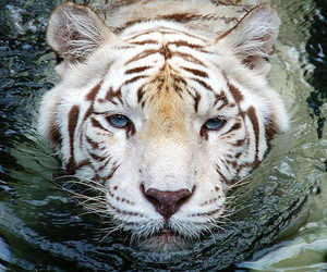 water, bengal tiger, and naturesfinest image