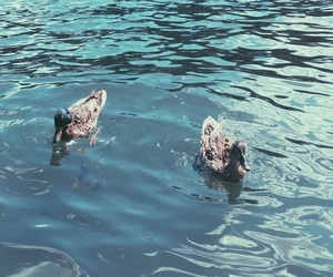 ducks, summer, and swimming image