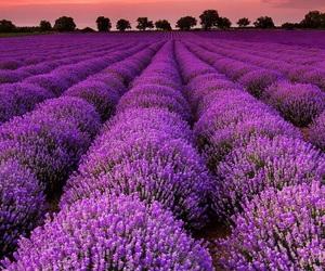 lavender, purple, and wallpaper image