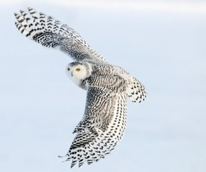 owl, snowy owl, and snow image