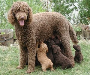 puppies and standard poodle image