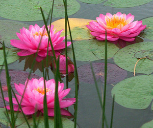 pink, flowers, and lily pads image