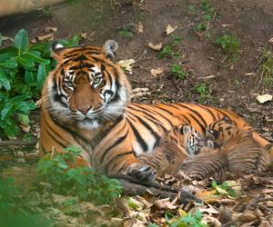 cub, tiger, and tigre image