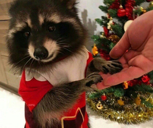 christmas, cute, and raccoon image