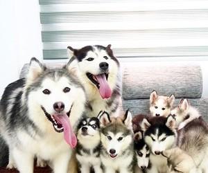 dog, husky, and cute image