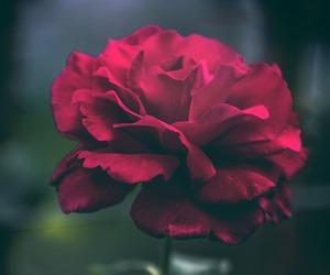 flores, rose, and primavera image