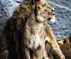 lions and nature image
