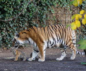 copenhagen, tigre, and cub image