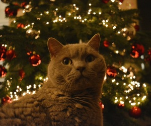 animal, cat, and christmas image