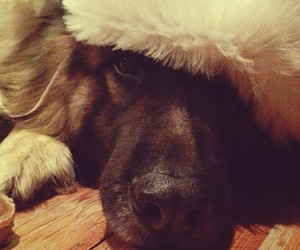 christmas, german shepherd, and my dog image