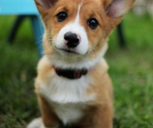 dog, corgi, and puppy image