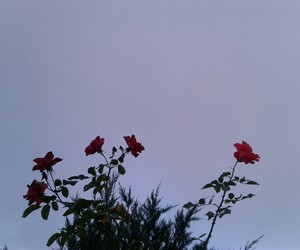 red, rose, and sky image