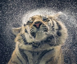 cat, tiger, and water image