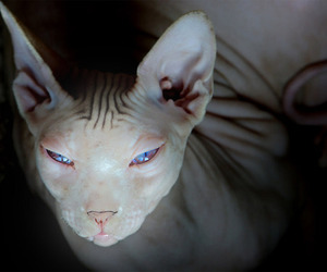 bold, photography, and sphynx image