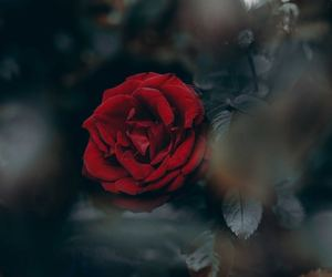 dark background, flowers, and red image