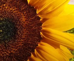 inlove, yellow, and sunflowers image