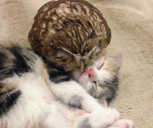 cat and owl image
