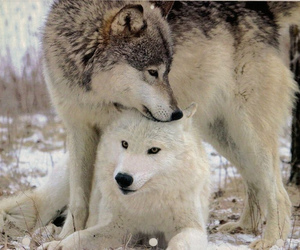 wolf and lobos image