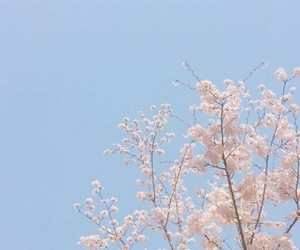blossom, blue, and cherry image